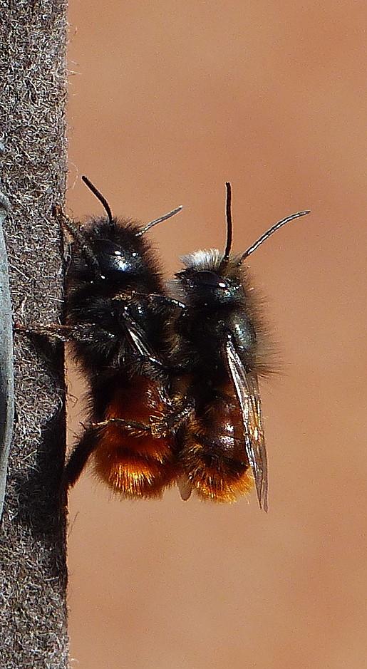 Mauerbiene Gehörnte