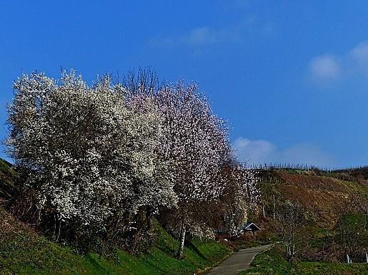 Mandelblüte Ihringen 23/3/15