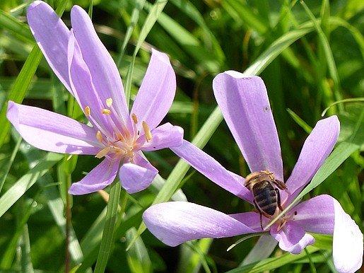 Herbstzeitlose mit Biene als Bestäuberin