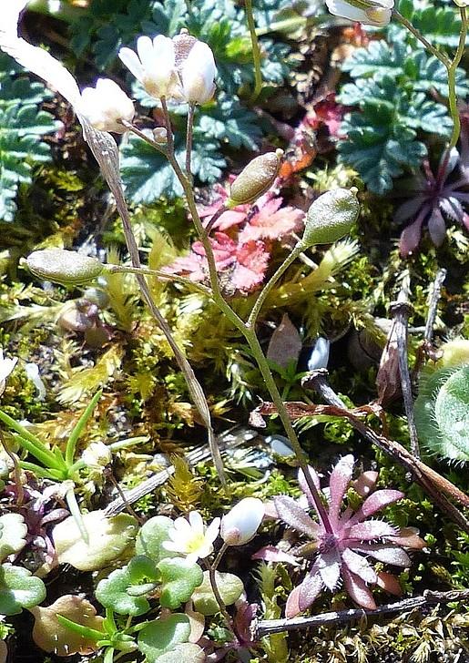 Frühlings-Hungelblümchen.JPG