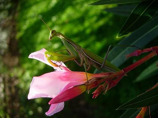 Gottesanbeterin Mantis